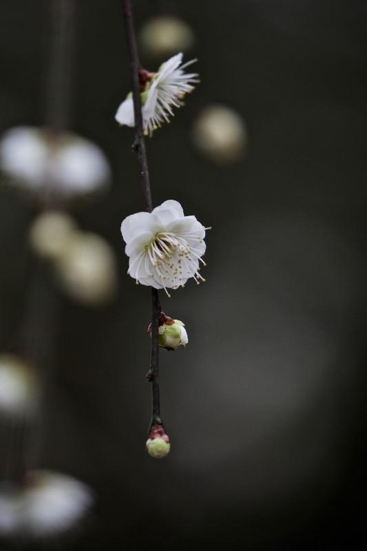 梅の花_e0071967_1428446.jpg