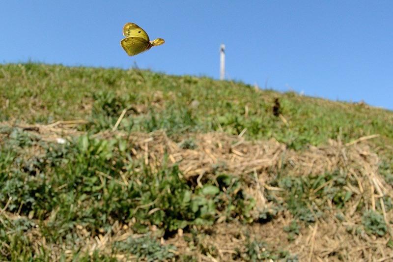 小畔川便り(モンキチョウの産卵:2020/2/21,22)_f0031682_10011121.jpg