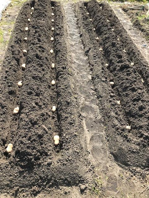 ジャガイモ植えました_f0204295_16333223.jpg