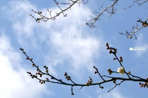 白河市の梅も咲き始めましたヽ(^o^)丿_c0140599_13334604.jpg