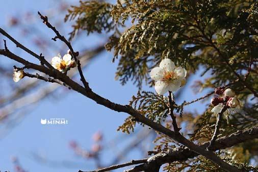 白河市の梅も咲き始めましたヽ(^o^)丿_c0140599_13345484.jpg