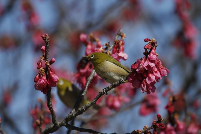 MFでメジロを撮る(寒緋桜の蜜を吸いに)_f0239515_181610100.jpg