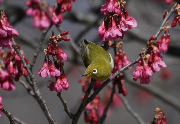 MFでメジロを撮る(寒緋桜の蜜を吸いに)_f0239515_18165592.jpg