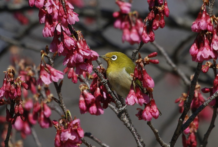 MFでメジロを撮る(寒緋桜の蜜を吸いに)_f0239515_18173036.jpg