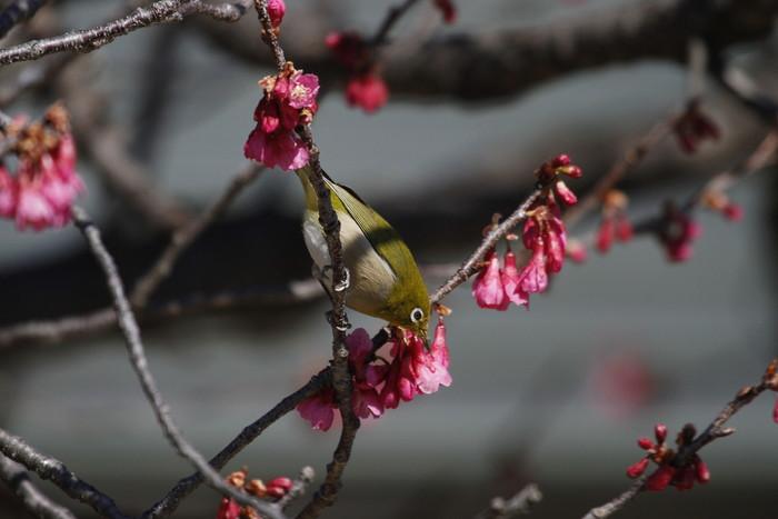 MFでメジロを撮る(寒緋桜の蜜を吸いに)_f0239515_18182011.jpg