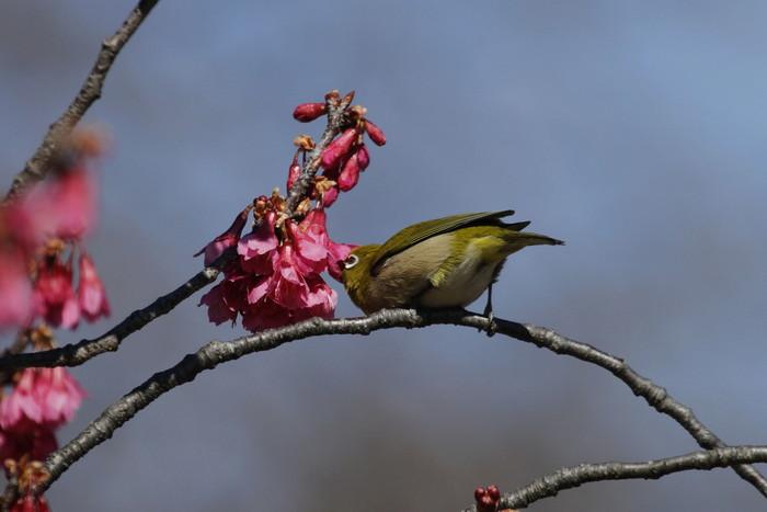 MFでメジロを撮る(寒緋桜の蜜を吸いに)_f0239515_18193335.jpg