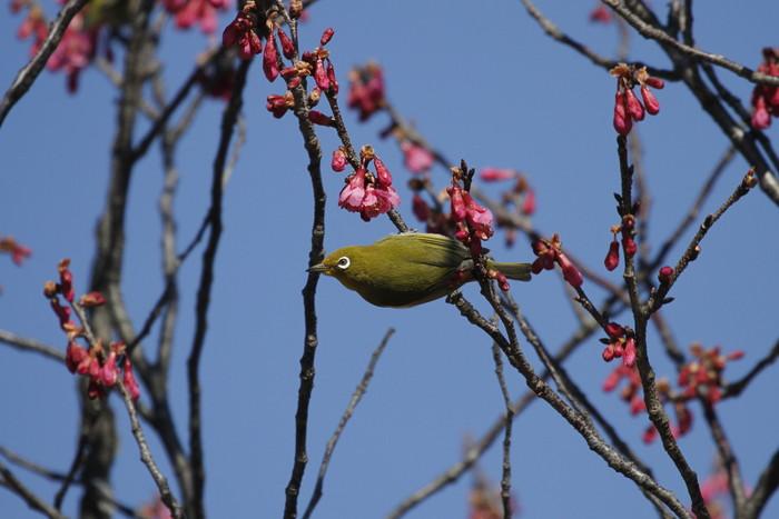 MFでメジロを撮る(寒緋桜の蜜を吸いに)_f0239515_18234394.jpg