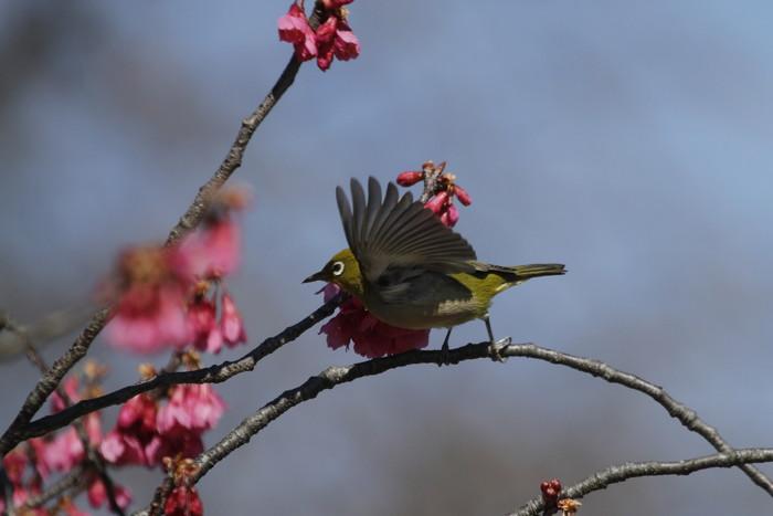 MFでメジロを撮る(寒緋桜の蜜を吸いに)_f0239515_1823587.jpg