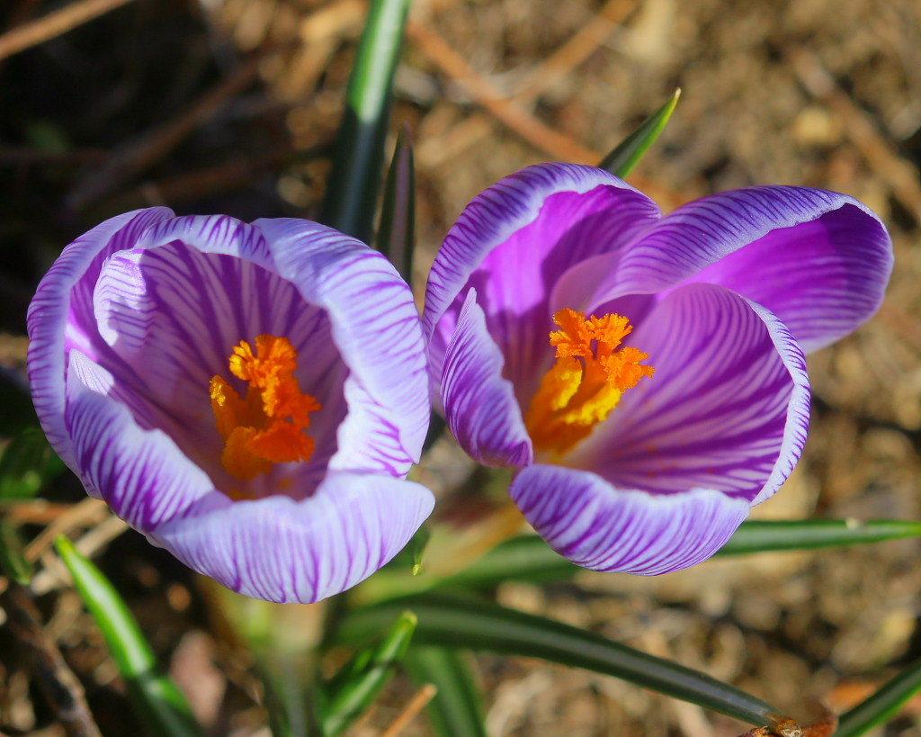マクロレンズで春の花々_c0305565_17345816.jpg