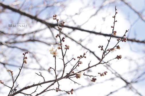 裏の梅がどんどん開花しています❤(#^^#)_c0140599_19130766.jpg
