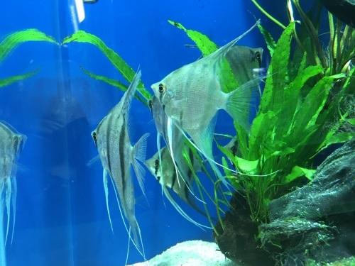 2020年2月28日更新の熱帯魚最新入荷情報!_b0141806_01301547.jpeg