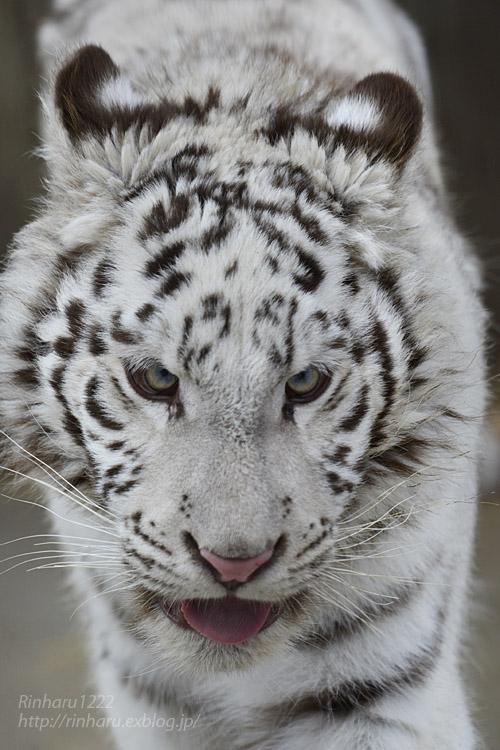 2020.2.29 宇都宮動物園☆ホワイトタイガーのグーナくん【White tiger】<その1>_f0250322_22402381.jpg