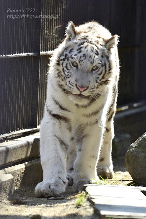 2020.2.29 宇都宮動物園☆ホワイトタイガーのグーナくん【White tiger】<その1>_f0250322_22402944.jpg