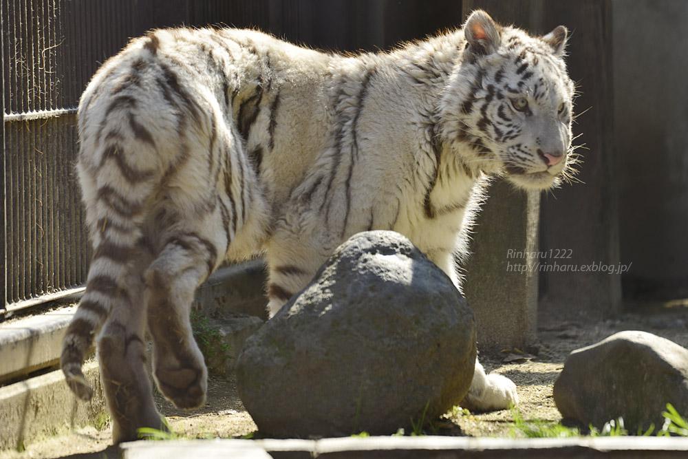 2020.2.29 宇都宮動物園☆ホワイトタイガーのグーナくん【White tiger】<その1>_f0250322_22404393.jpg