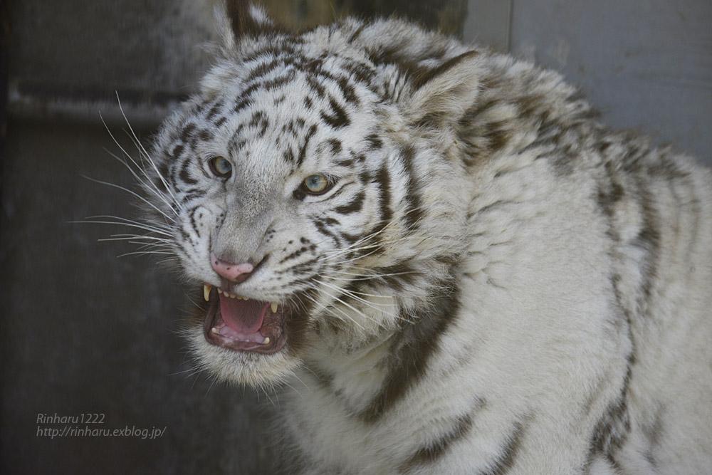 2020.2.29 宇都宮動物園☆ホワイトタイガーのグーナくん【White tiger】<その1>_f0250322_22411766.jpg