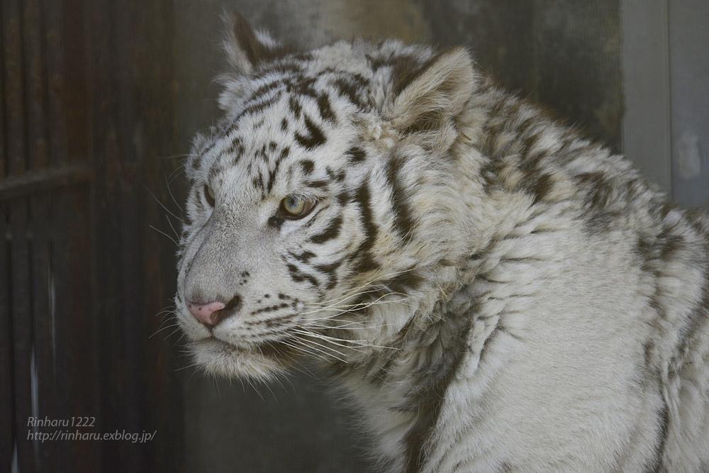 2020.2.29 宇都宮動物園☆ホワイトタイガーのグーナくん【White tiger】<その1>_f0250322_22412476.jpg