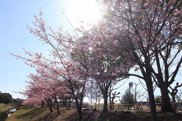 山崎運動公園のカワズザクラ満開(その1)(撮影:2月19日)_e0321325_15251024.jpg