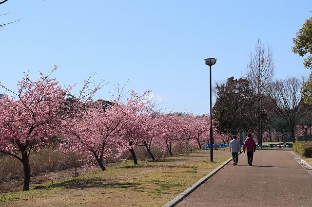 山崎運動公園のカワズザクラ満開(その1)(撮影:2月19日)_e0321325_15301433.jpg