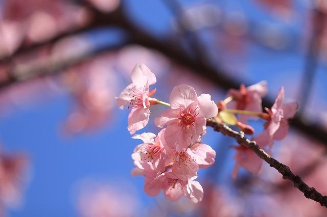 山崎運動公園のカワズザクラ満開(その3)(撮影:2月19日)_e0321325_16053996.jpg