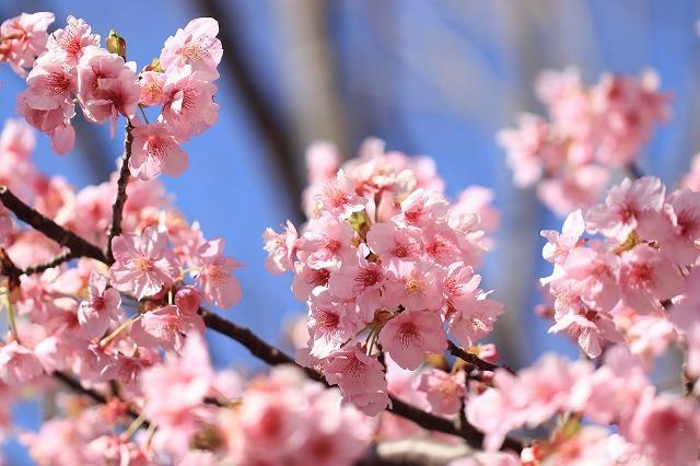 山崎運動公園のカワズザクラ満開(その3)(撮影:2月19日)_e0321325_16055234.jpg