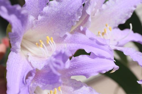 ブルーアマリリス の開花_e0212855_11424771.jpg