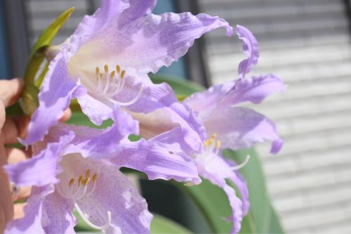 ブルーアマリリス の開花_e0212855_11425696.jpg