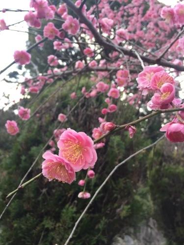 梅の花_c0184989_22145651.jpeg
