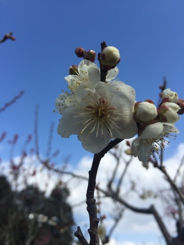 梅の花_c0184989_22154012.jpeg