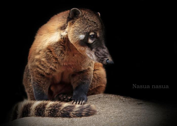 アカハナグマ:Ring-tailed Coati_b0249597_06344150.jpg