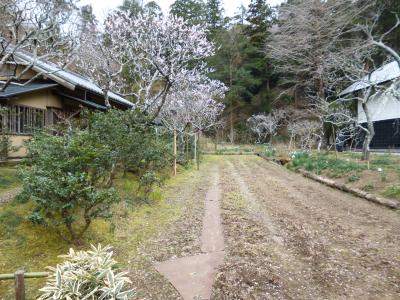 浄智寺のミツマタの花_c0195909_10411121.jpg