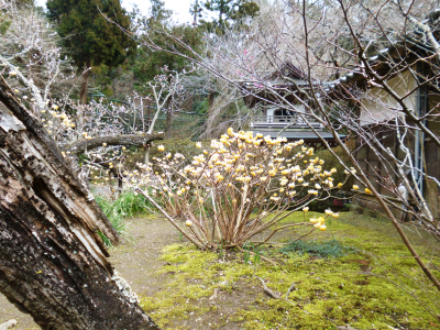 浄智寺のミツマタの花_c0195909_10411903.jpg