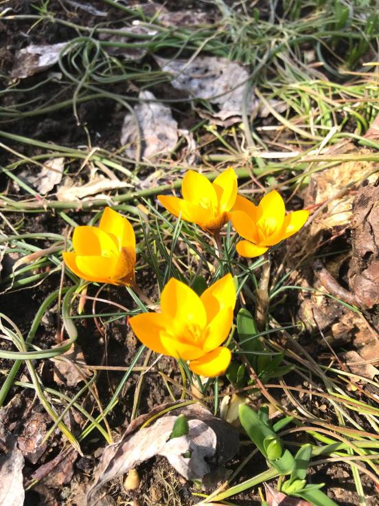 クロッカスが咲いた_f0067514_09052966.jpg