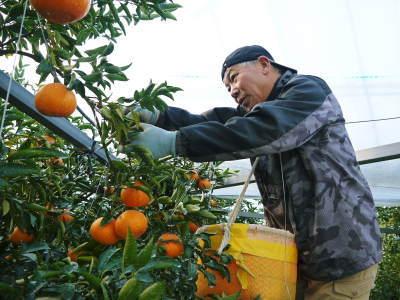 究極の柑橘『せとか』 超!ハイペースで出荷中!ご家庭用にもご贈答用にも大人気商品です!_a0254656_14553821.jpg