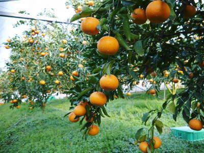 究極の柑橘『せとか』 超!ハイペースで出荷中!ご家庭用にもご贈答用にも大人気商品です!_a0254656_15012214.jpg