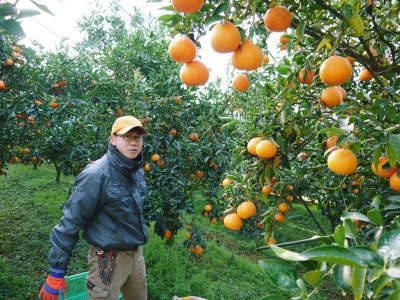 究極の柑橘『せとか』 超!ハイペースで出荷中!ご家庭用にもご贈答用にも大人気商品です!_a0254656_15062072.jpg
