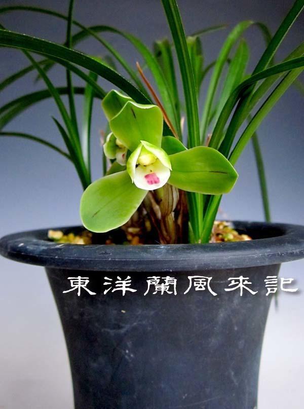 桂円梅と小型西神梅                      No.2012_d0103457_23103640.jpg