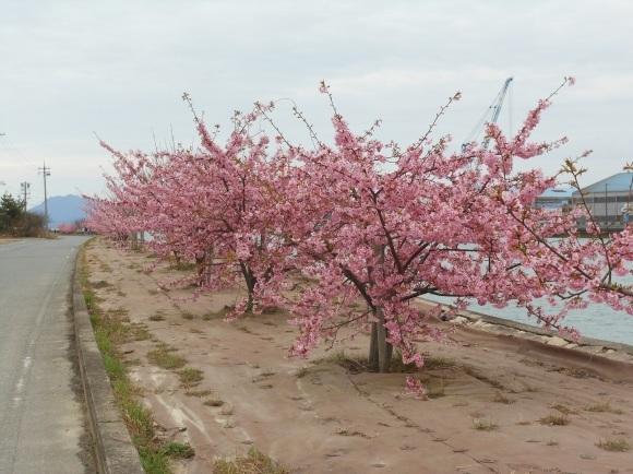 弥生始まり、桜が見頃_e0175370_20213790.jpg