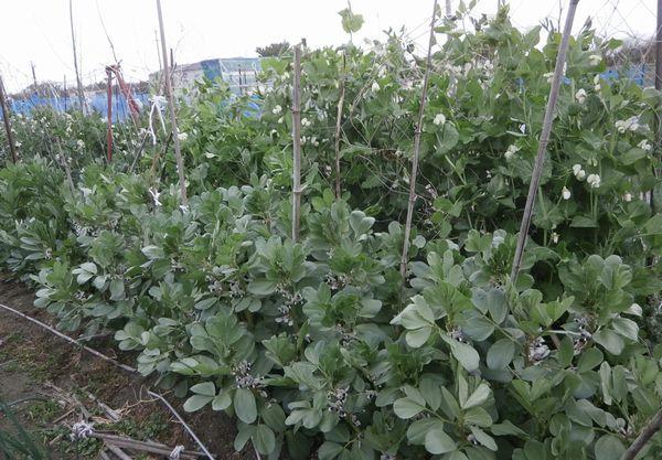 7月まで保存可能な超極早生玉葱の初収穫_f0018078_20210715.jpg
