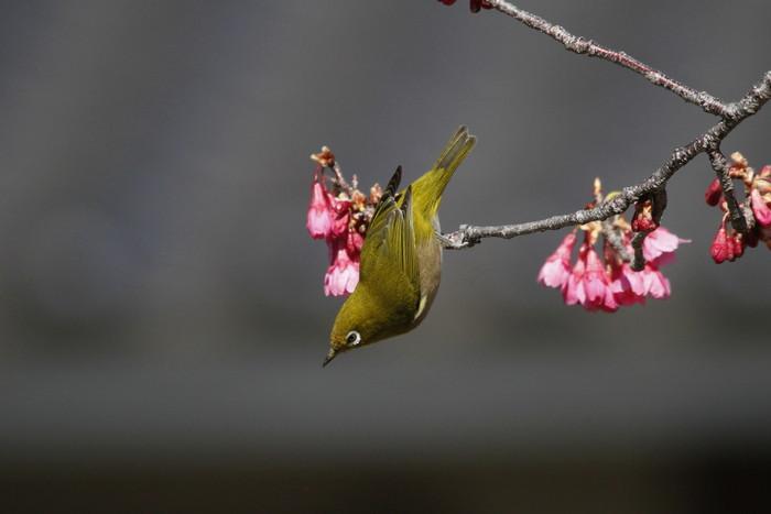 メジロと寒緋桜 その2_f0239515_14583514.jpg