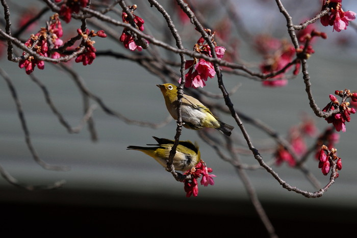 メジロと寒緋桜 その2_f0239515_1459039.jpg