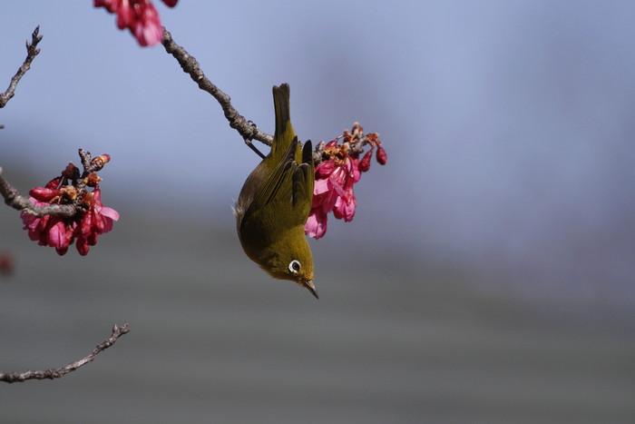 メジロと寒緋桜 その2_f0239515_14592837.jpg