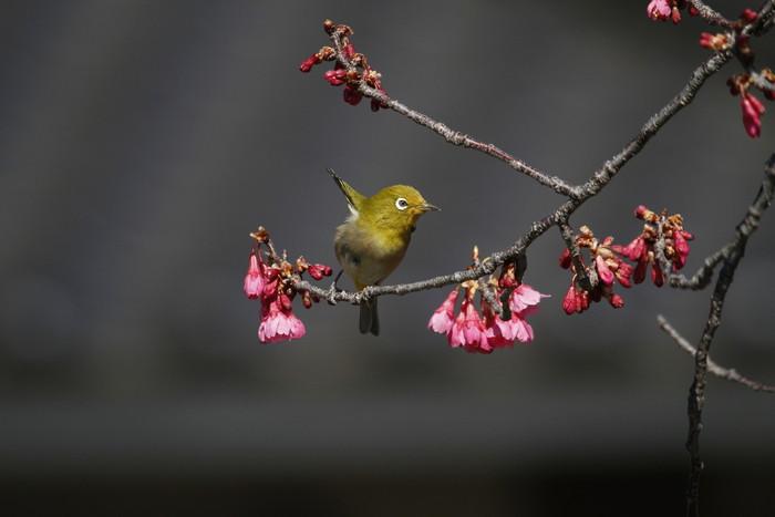 メジロと寒緋桜 その2_f0239515_1504178.jpg