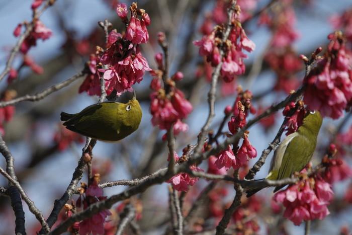 メジロと寒緋桜 その2_f0239515_1512095.jpg
