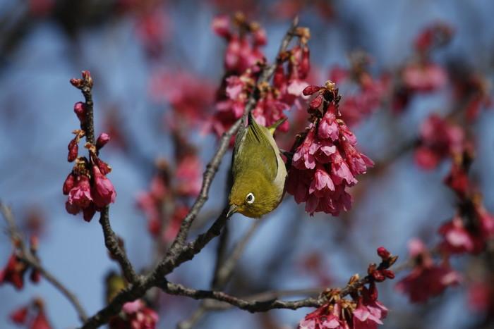 メジロと寒緋桜 その2_f0239515_1514488.jpg