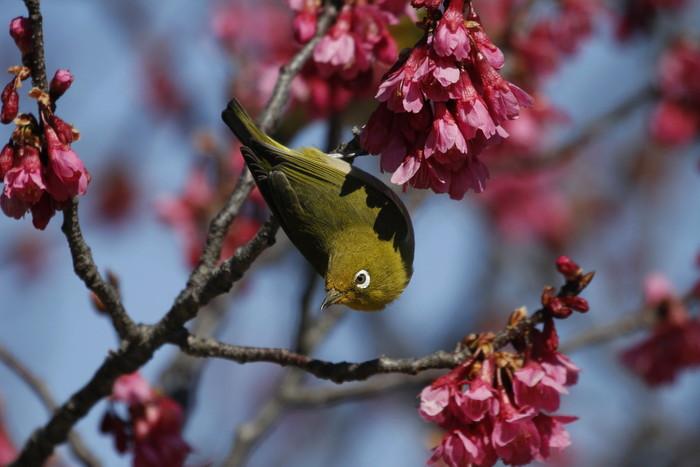 メジロと寒緋桜 その2_f0239515_152112.jpg