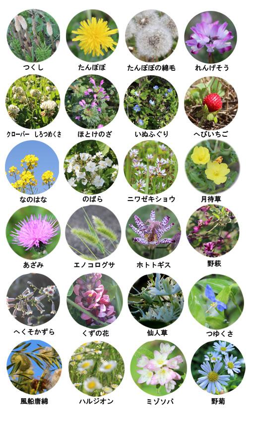 野の花図鑑_a0329820_04474049.jpg