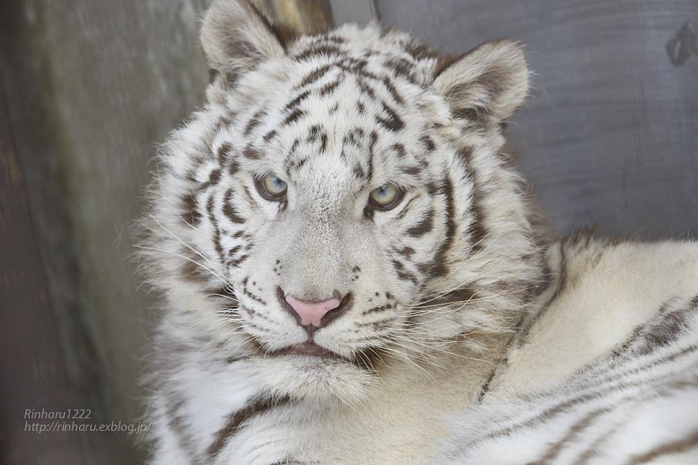 2020.2.29 宇都宮動物園☆ホワイトタイガーのグーナくん【White tiger】<その2>_f0250322_14201938.jpg