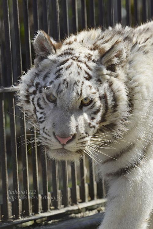 2020.2.29 宇都宮動物園☆ホワイトタイガーのグーナくん【White tiger】<その2>_f0250322_1420256.jpg