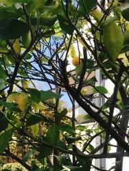 我が家のレモンの木_a0059035_22475656.jpg