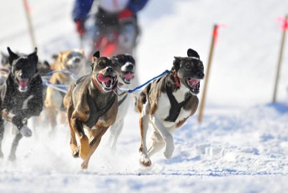 犬ぞりの短距離レース開幕!_b0135948_00573549.png